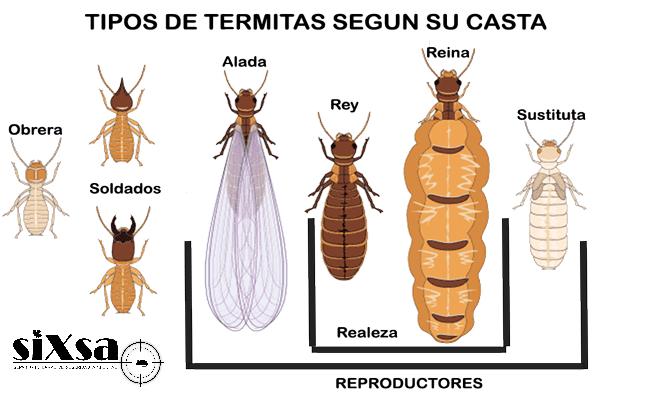 casta-termita-reina-soldado-obrera-6d4a5f3f