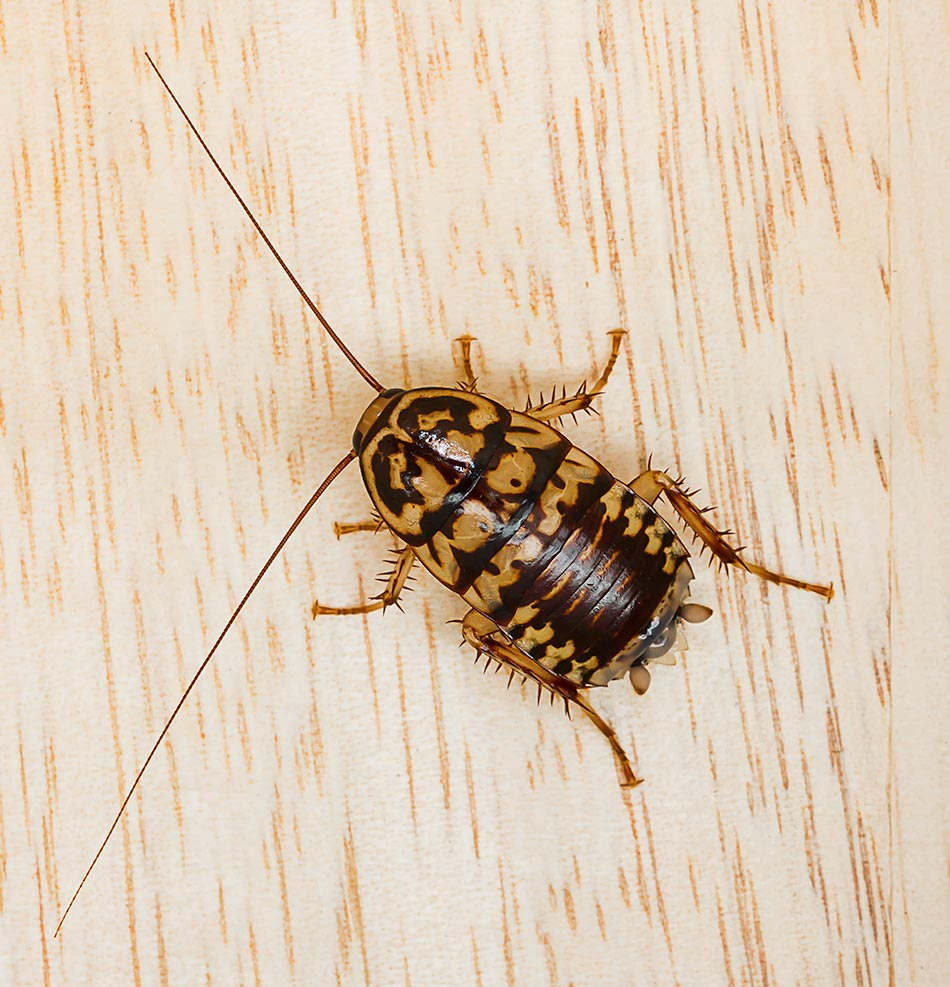 plaga-cucaracha3-sixsa