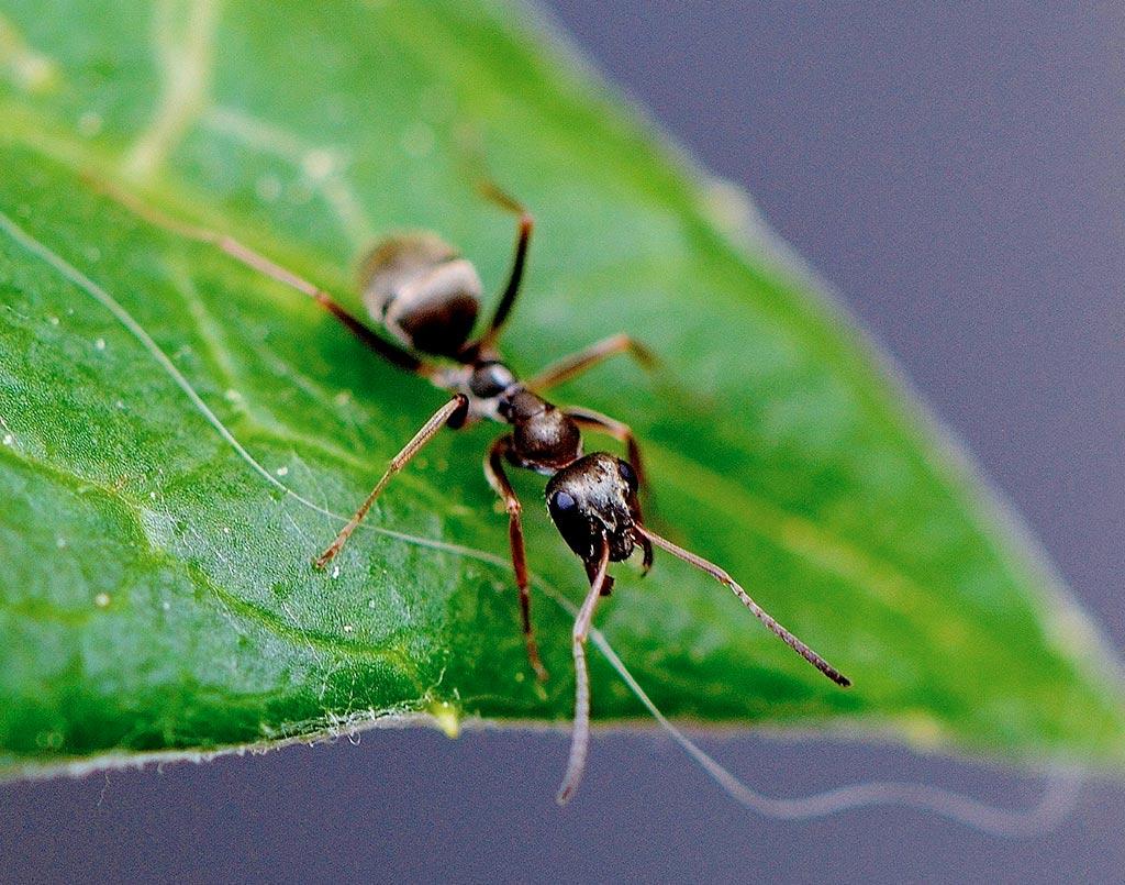plaga-hormigas2-sixsa