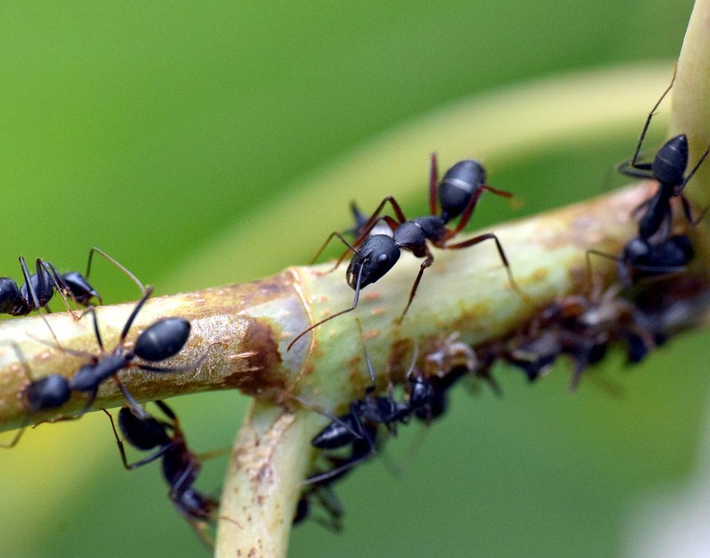 plaga-hormigas3-sixsa