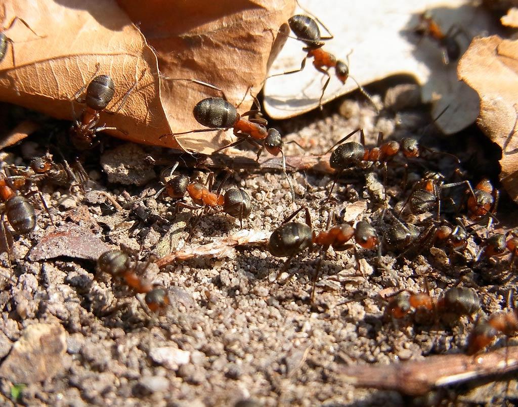 hormigas-plaga-hormigas4-sixsa