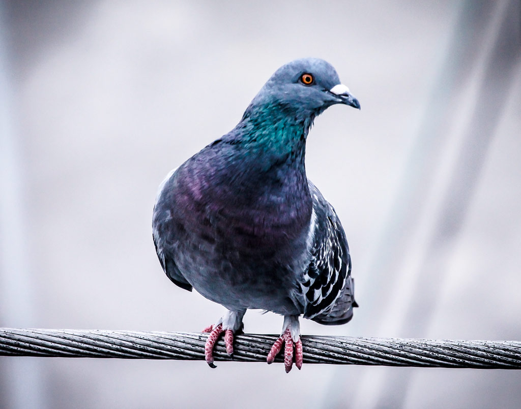 plagas-palomas-sixsa