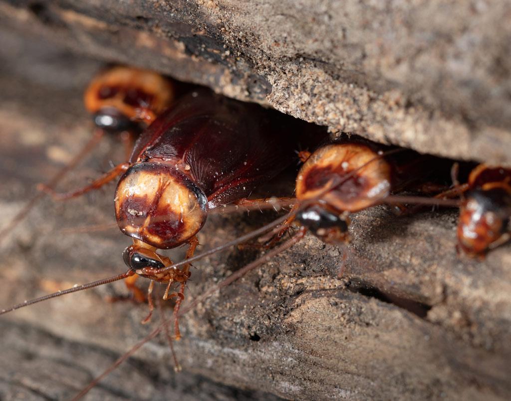 plagas-cucarachas-sixsa