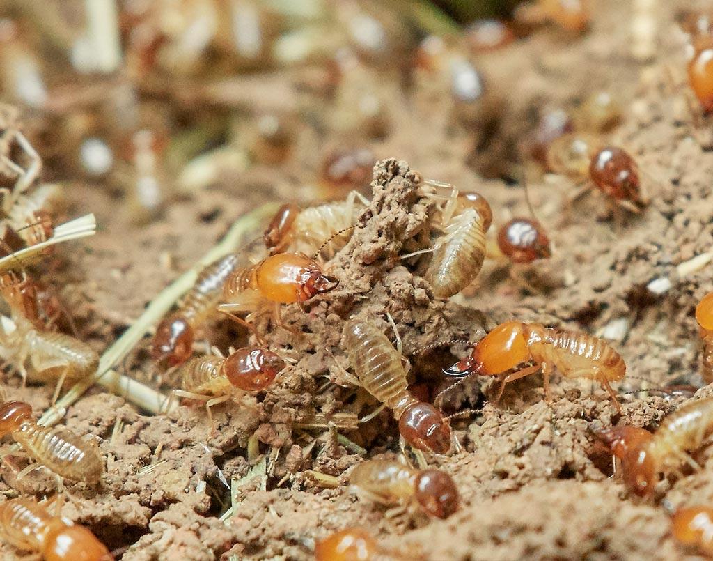 plagas-termita-sixsa