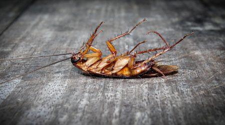 controlplagas-cucarachas-sixsa-seguridadambiental-fumigador-profesional-experto-talavera-plaga de cucarachas