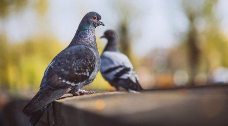 controlplagas-palomas-aves-sixsa-seguridadambiental-fumigador-profesional-experto-talavera