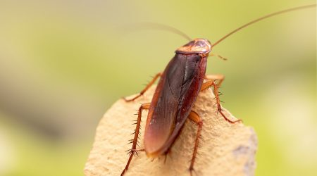 cucarachas-mas-resistentes-a-insecticidas-sixsa