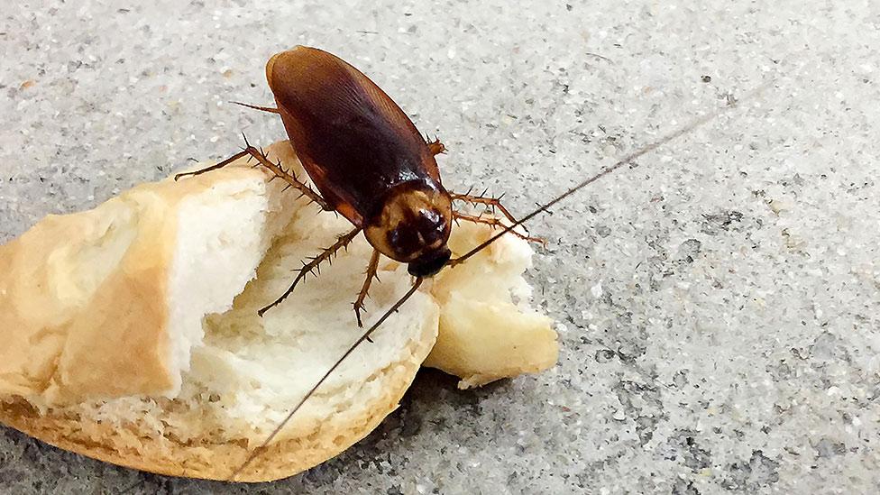 cucarachas-prefieren-lugares-donde-hay-alimentos-sixsa
