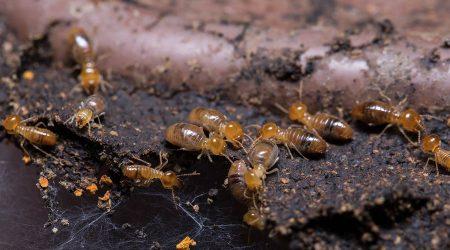 termitas-comiendo-madera-sixsa